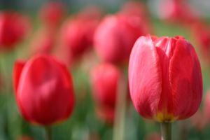 fall_tulip.jpg